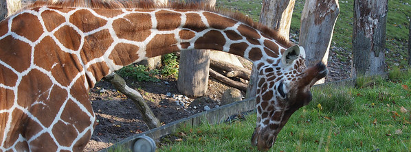 Giraffes in Copenhagen Zoo. Photo: Martin Bager.