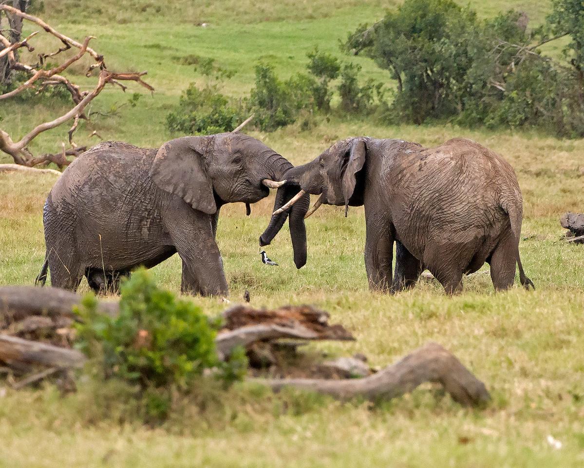 Elephant Pushing Match