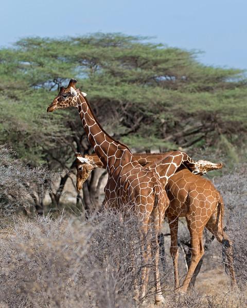 Reticulated Giraffes Hugging