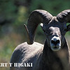 Glacier National Park : Bighorn, mountain goats