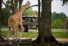 Giraffe's Coming to visit one of the Private Pinzgauer Tours - Global Wildlife Center, Louisiana