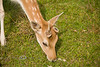 One Horned Fallow Deer in the Global Wildlife Center, Louisiana - Photo by Cindy Bonish