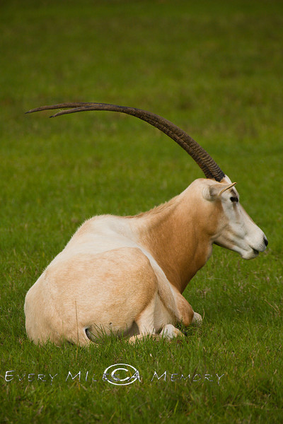 It's Not Hard to See why They Say the Legend of the Unicorn came from the Scimitar Oryx - Global Wildlife Center, Louisiana - Photo by Cindy Bonish