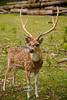 Male Fallow Deer with a Beautiful Rack - Global Wildlife Center, Louisiana