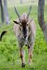 Eland or Taurotragus Oryx @ The Global Wildlife Center in Louisiana - Photo by Cindy Bonish