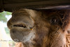 Face to Face with a Hungry Gobi Camel - Global Wildlife Center, Louisiana - Photo by Cindy Bonish