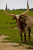 Watusi Long Horn Cow at the Global Wildlife Center in Louisiana - Photo by Cindy Bonish