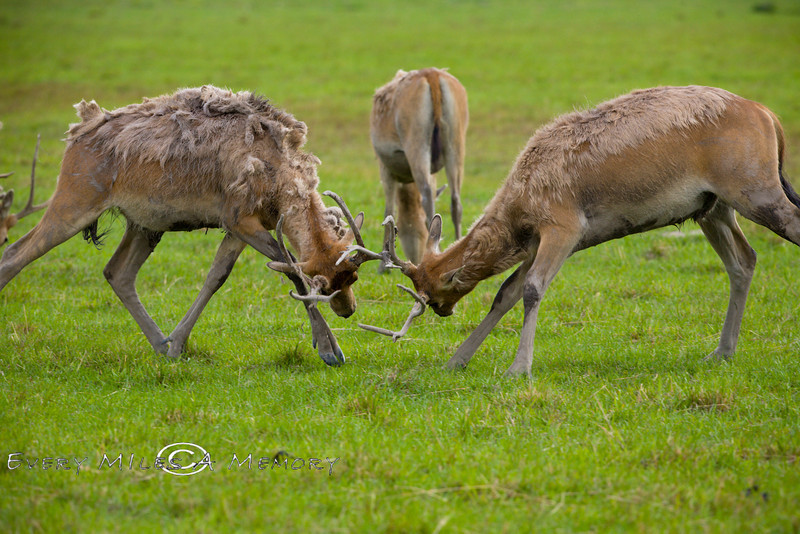 Two Pere David Deer trying to Impress the Female behind them who doesnt seemed too impressed - Global Wildlife Center, Louisiana