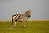 Lone Zebra on the Savannah - Global Wildlife Center, Louisiana - Photo by Cindy Bonish
