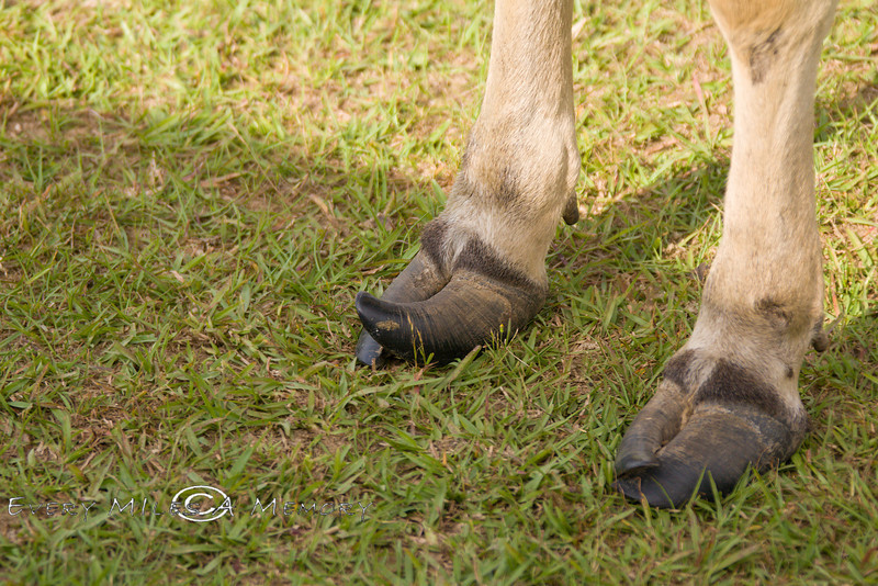 Curled Elf Toes on the Watusi Cows - Global Wildlife Center, Louisiana - Photo by Cindy Bonish