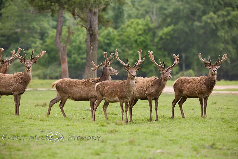 Group of Eureopean Red Deer at the Global Wildlife Refuge in Louisiana