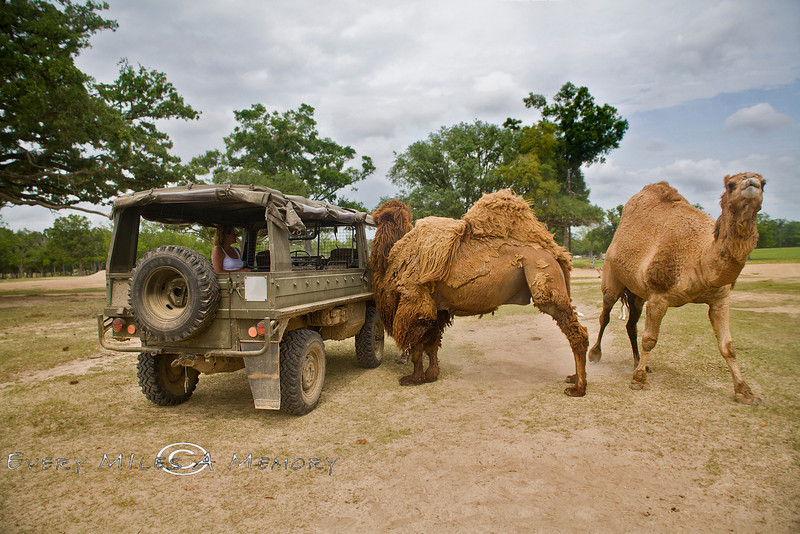 These two Gobi Camels talking with Cindy in the Pinzgauer - Global Wildlife Center, Louisiana