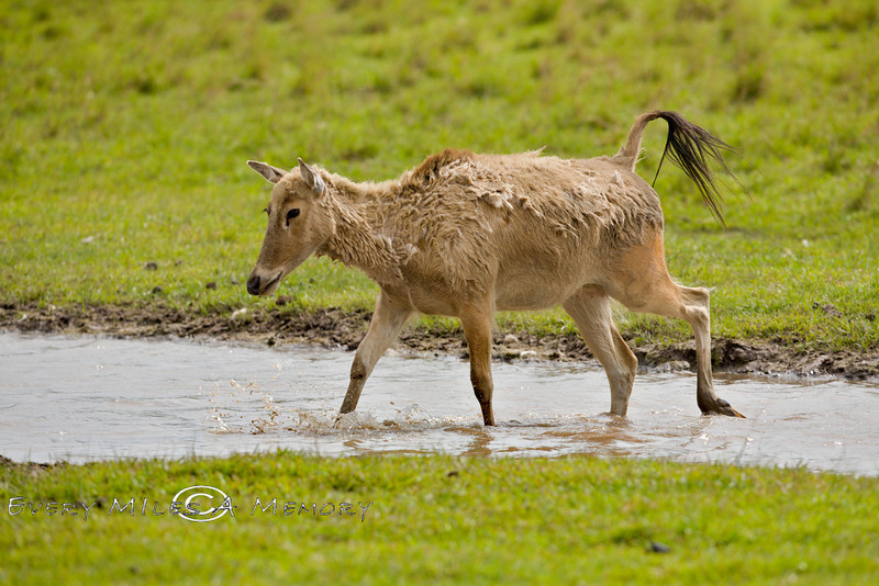 Female Father David Deer Crossing a Stream in the Global Wildlife Center in Louisiana