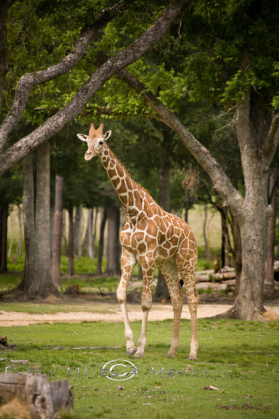One of the 5 giraffe's roaming the 900 acres of park - Global Wildlife Center, Louisiana