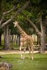 One of the 5 giraffe's roaming the 900 acres of park - Global Wildlife Center, Louisiana