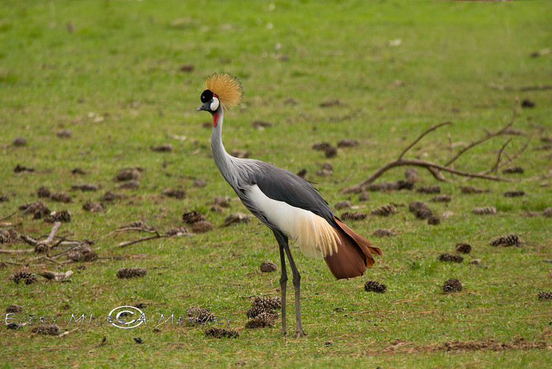 East African Crowned Crane in the Global Wildlife Center - Photo by Cindy Bonish