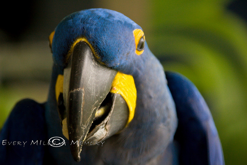 Blue Macaw at the Global Wildlife Center in Louisiana
