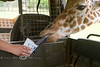 Feeding the Giraffe's Right out of the Pinzgauer - Global Wildlife Center, Louisiana - Photo by Cindy Bonish