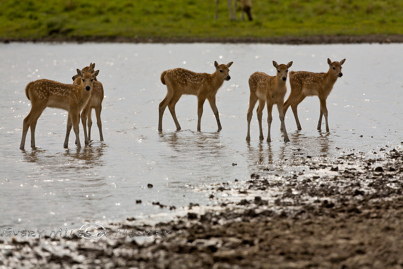 Baby Pere David Deer playing in the Water - Global Wildlife Center, Louisiana