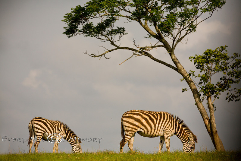 Zebra's Along the Open Plains of the GLobal Wildlife Center in Louisiana