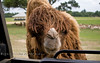 Being Greeted by a Gobi Camel - Global Wildlife Center, Louisiana - Photo by Cindy Bonish