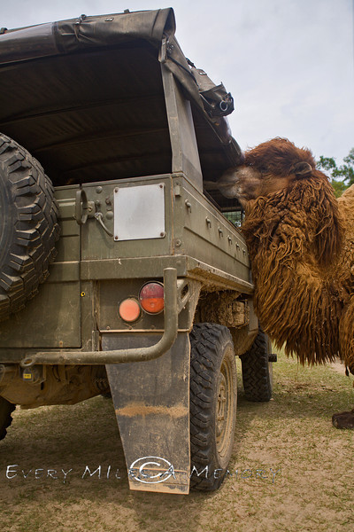 Aladdin the Gobi Camel Coming up to the Pinzgauer to say Hello - Global Wildlife Center, Louisiana