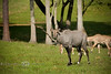 Dominate Nilgai Antelope known as a Blue Buck - Global Wildlife Center, Louisiana - Photo by Cindy Bonish