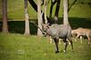 Dominate Nilgai Antelope known as a Blue Buck - Global Wildlife Center, Louisiana - Photo by Cindy Bonish