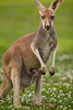Female Kangaroo with a Joey in her Pouch - Global WIldlife Center, Louisiana - Photo by Cindy Bonish