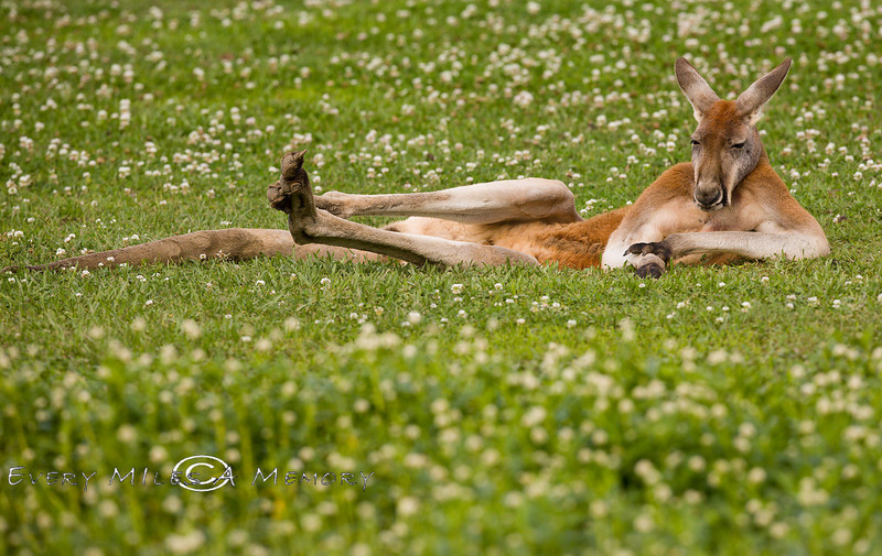Just Lounging in the Afternoon Louisiana Heat at the Global Wildlife Center