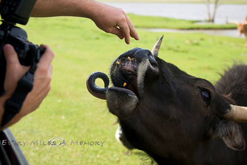 Pat Feeding the Watusi Cows some corn while trying to get a closeup of their huge Tongue - Global Wildlife Center, Louisiana - Photo by Cindy Bonish