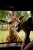 Having a Baby Giraffe clean the front of the lens - Global Wildlife Center, Louisiana