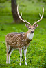 Majestic Fallow Deer with a Beautiful Rack - Global Wildlife Center, Louisiana