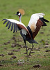 Beautiful East African Crowned Crane struting its stuff at the Global Wildlife Center in Louisiana
