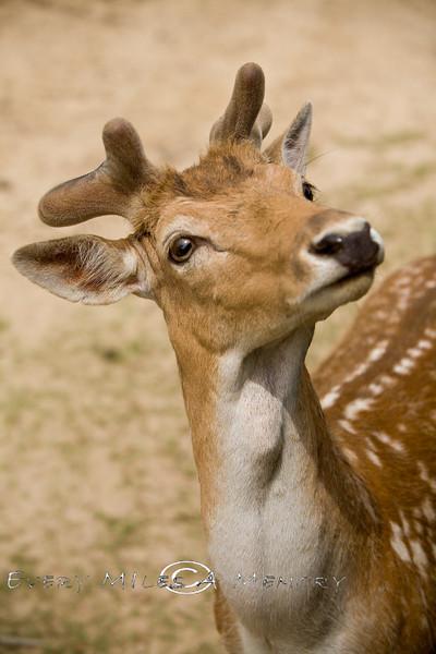 Curious Little Fallow Deer @ the Global Wildlife Center, Louisiana