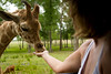 Hand Feeding a Baby Giraffe from the comfort of the Pinzgauer - Global Wildlife Center, Louisiana