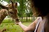 Hand Feeding a Baby Giraffe from the comfort of the Pinzgauer - Global Wildlife Center, Louisiana