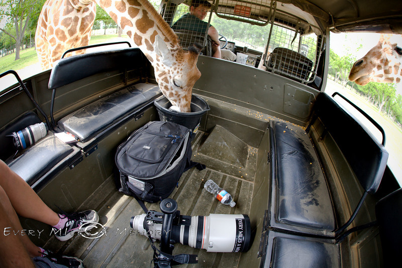 Giraffe's Eating right out of the Pinzgauer - Global Wildlife Center, Louisiana