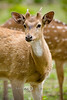 Young Fallow Buck with his Antlers Just Starting to emerge - Global Wildlife Center, Louisiana