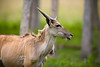 Side Profile of a Taurotragus Oryx which is also known as a Eland @ The Global Wildlife Center in Louisiana - Photo by Cindy Bonish