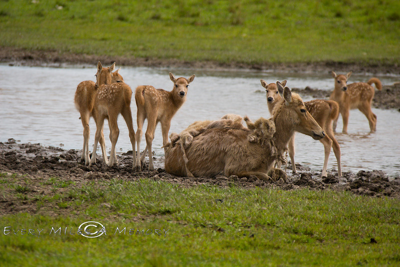 Mother, Pere David Deer with some fawns - Global Wildlife Center, Louisiana - Phtoo by Cindy Bonish