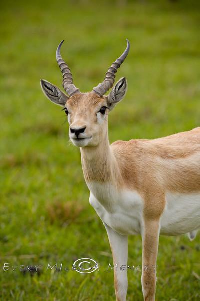 Pretty Blonde Antelope @ The Global Wildlife Center in Louisiana