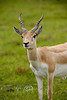 Pretty Blonde Antelope @ The Global Wildlife Center in Louisiana