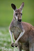 Male Kangaroo in the Global Wildlife Center, Louisiana - Photo by Cindy Bonish