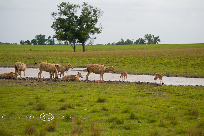 Group of Pere David Deer drinking from a stream - Global Wildlife Center, Louisiana - Photo by Cindy Bonish