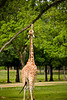 Notice how long the Tongue is on this Giraffe to reach the leaves - Global Wildlife Center, Louisiana