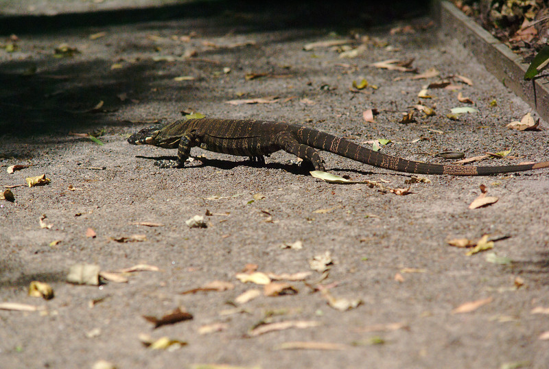 Small lace monitor