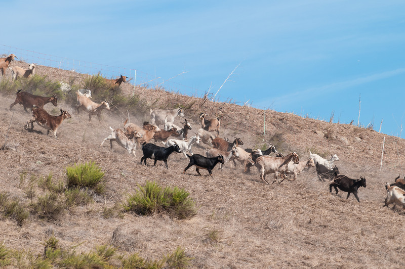 Goats have arrived on the hills.