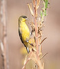 Immature Western Tanager, I think, or maybe a female