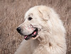 Kuvasz, he's seen some serious action.